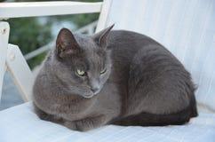 härliga gråa kattögon Arkivfoton