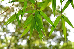 Härliga gröna bambusidor i en djungelbakgrundsnärbild Arkivbilder