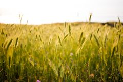 Härliga gröna fält på solnedgången Vårmedow av lösa blommor för gräs och för fält Naturlig bakgrund arkivbild