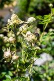 Härliga gröna rosor Arkivbilder