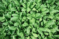 Härliga gröna sidor av busken arkivbild