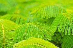 Härliga gröna sidor av flammaträdet royaltyfria bilder
