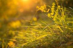 Härliga grönt gräs- och ängväxter i orange solnedgångsolljus med bokeh Senare sommar Arkivbild