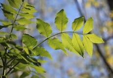 härliga greenleaves Arkivfoton