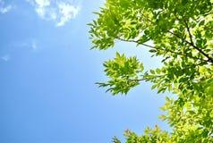 härliga greenleaves Fotografering för Bildbyråer