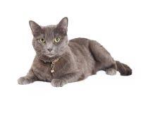 Härliga Grey Domestic Shorthair Cat Laying Royaltyfria Bilder
