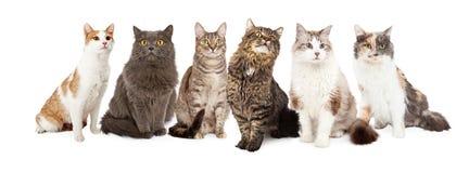 Härliga Grey Domestic Shorthair Cat Laying royaltyfria foton