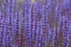 Härliga grova spikar av purpurfärgade blommor, selektiv fokus royaltyfri bild