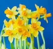 Härliga gula blommor av påskliljan (pingstliljan) Royaltyfria Foton