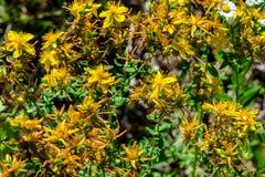 Härliga gula blommor av tutsan växa i fältet fotografering för bildbyråer