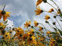 Härliga gula blommor för jerusalem kronärtskocka och blå molnig himmel Arkivfoto
