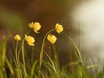 Härliga gula blommor i solnedgångljuset mot bakgrund field bl?a oklarheter f?r gr?n vitt wispy natursky f?r gr?s arkivbilder