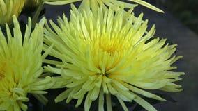 Härliga gula chrysanthemumblommor Closeupskott av den blommande gula krysantemumblomman lager videofilmer