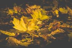 Härliga gula höstblad på jordningen royaltyfria foton