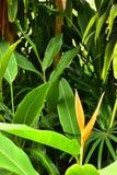 Härliga gula Heliconia med sidor på sidovägen arkivfoton