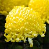 Härliga gula Japan krysantemum i höst utomhus skjutit selektivt för fokus Närbild Arkivbild