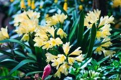 Härliga gula krokusar i våren Arkivfoto