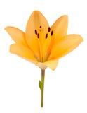 Härliga gula Lily Isolated på vit bakgrund Arkivfoton