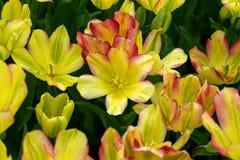 Härliga gula och rosa tulpanblommor i vårträdgård royaltyfria foton
