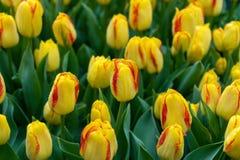 Härliga gula och rosa tulpanblommor i vårträdgård royaltyfri foto