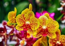 Härliga gula orkidér med röda fläckar stänger sig upp Royaltyfri Fotografi