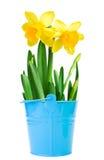 Härliga gula påskliljor i en hink Arkivbild