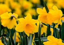 Härliga gula påskliljor som fotograferas i Cornwall royaltyfri foto