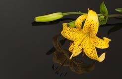 Härliga gula Tiger Lily med att avspegla över svart bakgrund Fotografering för Bildbyråer