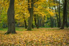 Härliga gula träd i en höst parkerar Att bedöva parkerar landskap i varm höstdag royaltyfri fotografi