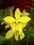 Härliga gula tropiska blommablomningar Arkivfoton