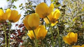 Härliga gula tulpan växer i en vårträdgård lager videofilmer