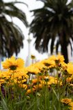 Härliga gula tusenskönor i en blomsterrabatt royaltyfria foton