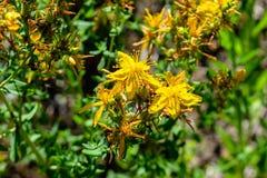 Härliga gula tutsan blommor blomstrar i fältet royaltyfri bild