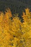 Härliga guld- Aspen Leaves Against Rocky Mountain sörjer träd Fotografering för Bildbyråer