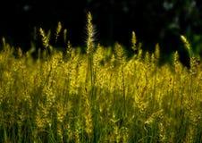 Härliga guld- gräsblommor Royaltyfri Bild