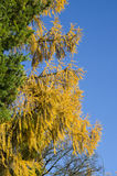 Härliga guld- höstlärkfilialer och himmel fotografering för bildbyråer