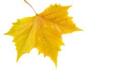 härliga guld- leaves Arkivfoton