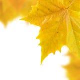 härliga guld- leaves Royaltyfria Bilder