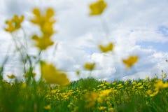 Härliga gulingblommor och grönt gräs mot den blåa himlen royaltyfri bild