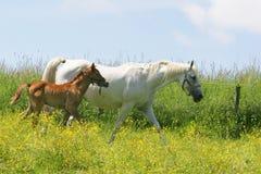 härliga hästar Arkivbilder