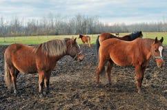 härliga hästar betar royaltyfri foto