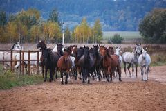 Härliga hästar går i natur i inställningssolen arkivfoto