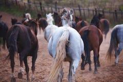 Härliga hästar går i natur i inställningssolen royaltyfri foto