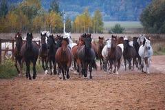 Härliga hästar går i natur i inställningssolen arkivfoton