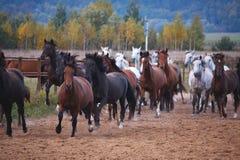 Härliga hästar går i natur i inställningssolen arkivbild