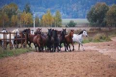 Härliga hästar går i natur i inställningssolen arkivbilder