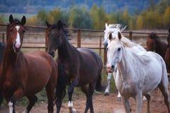 Härliga hästar går i natur i inställningssolen royaltyfria bilder