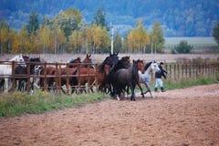 Härliga hästar går i natur i inställningssolen royaltyfri bild