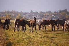 Härliga hästar går i natur i inställningssolen royaltyfria foton