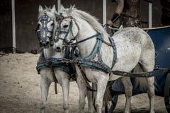 Härliga hästar, romersk triumfvagn i en kamp av gladiatorer som är blodig Arkivbild